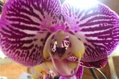 Macro van de Phalenopsis de purpere witte Orchidee stock fotografie