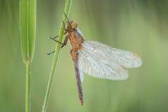 Macro van de schuimspaan Orthetrum van libelkeeled coerulescens op het gras wordt geschoten dat royalty-vrije stock afbeeldingen