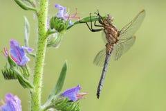 Macro van de schuimspaan Orthetrum van libelkeeled coerulescens op het gras wordt geschoten dat royalty-vrije stock fotografie