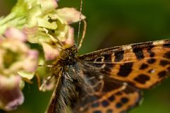 Macro van een Aphrodite Fritillary of vlinder die van Speyeria aphrodite stuifmeel op besbloem verzamelen in de lente stock fotografie