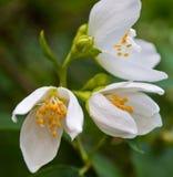 Macro van een bloem Royalty-vrije Stock Afbeelding