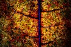 Macro van een droog blad van de de herfstesdoorn Royalty-vrije Stock Foto