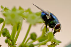 Macro van een Fruitvlieg Stock Foto