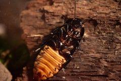 Macro van een Grote Bruine Kakkerlak die met vignet eten stock foto