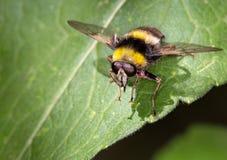 Macro van een insect: Arctophilabombiformis royalty-vrije stock foto