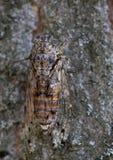 Macro van een insect: Cicadeorni royalty-vrije stock fotografie