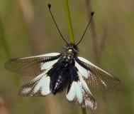 Macro van een insect: Libelloidescoccajus stock afbeelding