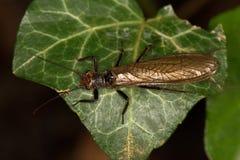 Macro van een insect: Perlamarginata stock fotografie