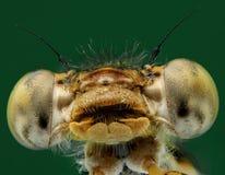 Macro van een insect: Sympecmafusca stock afbeeldingen