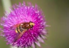 Macro van een insect: Volucellainanis stock afbeelding