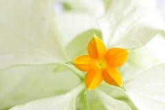 Macro van een mooie uiterst kleine gele bloem Mussaenda Stock Foto's