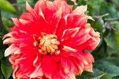 Macro van een rode dahlia royalty-vrije stock fotografie