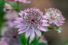 Macro van een roze bloem die van astrantiamajoor vele details zoals stampers en stuifmeel tonen stock foto