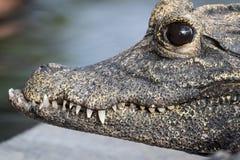 Macro van een tropische krokodil wordt geschoten die stock afbeelding