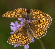 Macro van een vlinder: Melitaeaathalia stock foto