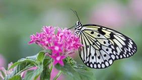 Macro van een zwart-witte vlinderzitting op roze bloemen stock foto's