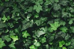 macro van Engelse de klimop groene die bladeren van de hederaschroef, met retro uitstekende filters wordt gestemd Royalty-vrije Stock Foto's