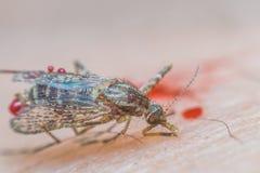 Macro van gebroken mug (Aedes aegypti) aan gestorven stock afbeeldingen