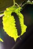 Macro van Geschilderde Jezebel Delias hyparete rupsbanden op achtereind van hun blad van de gastheerinstallatie in aard, Vlinderw Stock Foto