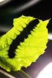 Macro van Geschilderde Jezebel Delias hyparete rupsbanden op achtereind van hun blad van de gastheerinstallatie in aard, Vlinderw Royalty-vrije Stock Foto's