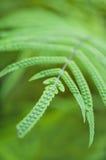 Macro van groen varenblad wordt geschoten met sporen die Stock Afbeelding