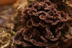 Macro van het bruine fruitlichaam van Thelephora-species stock foto