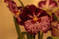 Macro van het donkerrode patroon op een witte viooltjeorchidee Stock Afbeelding