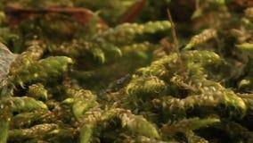 Macro van het mos Bryophyta stock footage