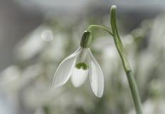 Macro van het sneeuwklokje dat van de de lentebloem wordt geschoten Stock Foto's