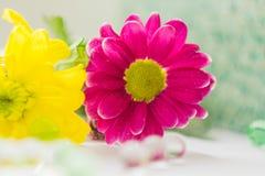 Macro van het twee chrysanten de roze en gele close-up Royalty-vrije Stock Afbeelding