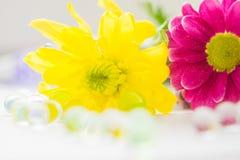 Macro van het twee chrysanten de roze en gele close-up Royalty-vrije Stock Fotografie