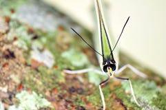 Macro van hoofd van witte Morpho-vlinder Royalty-vrije Stock Fotografie