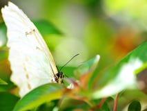 Macro van hoofd van witte Morpho-vlinder op blad Stock Afbeelding