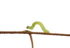 Macro van inchworm op wit wordt geïsoleerd dat stock afbeeldingen
