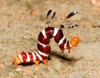 Macro van kleurrijke harige worm Royalty-vrije Stock Afbeeldingen
