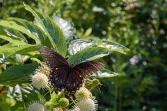 Macro van Langzaam verdwenen Zwarte Swallowtail-Vlinder royalty-vrije stock afbeeldingen