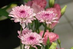Macro van Lavendel Bloeiende Dahlia Stock Afbeelding
