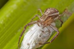 Macro van lichtbruine spin van een krab met de zak van het oothecaei op een groen blad Nieuw versie herontworpen dollarbankbiljet royalty-vrije stock foto