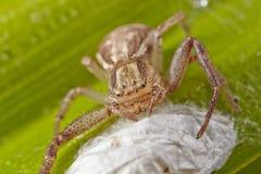 Macro van lichtbruine spin van een krab met de zak van het oothecaei op een groen blad Nieuw versie herontworpen dollarbankbiljet royalty-vrije stock fotografie