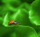 Macro van lieveheersbeestje op het groene saladeblad Stock Foto