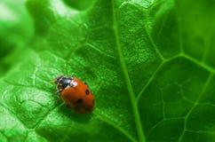 Macro van lieveheersbeestje op het verse groene blad Royalty-vrije Stock Fotografie