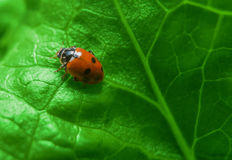 Macro van lieveheersbeestje op het verse groene blad Stock Afbeeldingen
