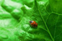 Macro van lieveheersbeestje op het verse groene blad Stock Foto's