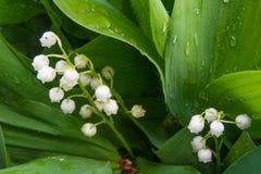 Macro van lilly van de vallei wordt geschoten - tedere de lentebloemen die royalty-vrije stock afbeelding