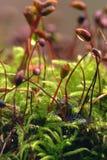 Macro van mos royalty-vrije stock afbeelding