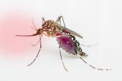 Macro van mug (Aedes aegypti) zuigend bloed, op wh stock afbeeldingen