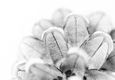 Macro van pinecone Royalty-vrije Stock Foto's