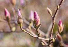 Macro van purpere magnolia Royalty-vrije Stock Foto's