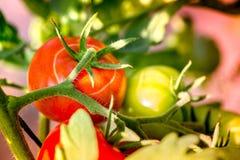 Macro van rijpe tomaten en groene tomaten wordt geschoten die Royalty-vrije Stock Foto's