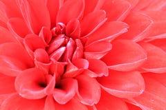 Macro van rode dahliabloem Stock Afbeelding